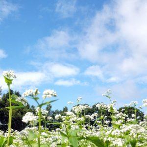 河内_そばの花
