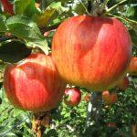豊栄_リンゴ