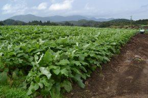 OKファームゴボウ畑